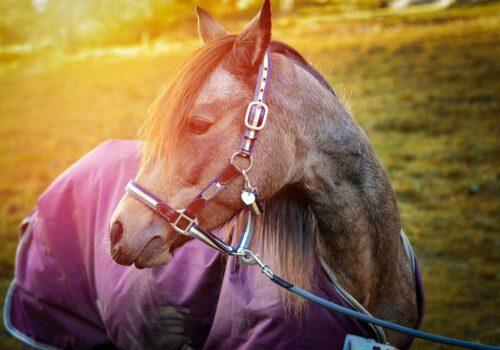 Couverture de cheval : un équipement incontournable